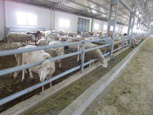 hayvancılık yatırımı nasıl yapılır 2