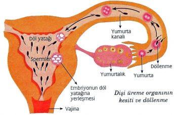 kadinlarda-hamileligin-ikinci-haftasinda-yasanacak-degisimler-nelerdir-3