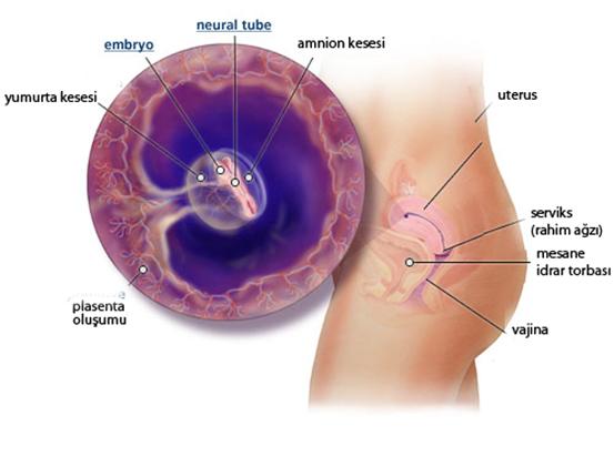 kadinlarda-hamileligin-besinci-haftasinda-yasanacak-degisimler-nelerdir-4
